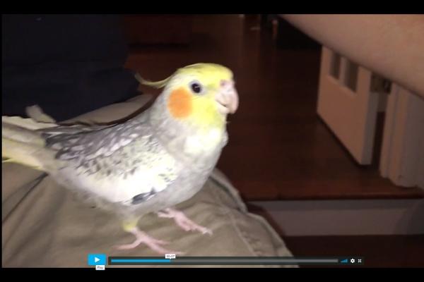 Попугай напевает рингтон iPhone